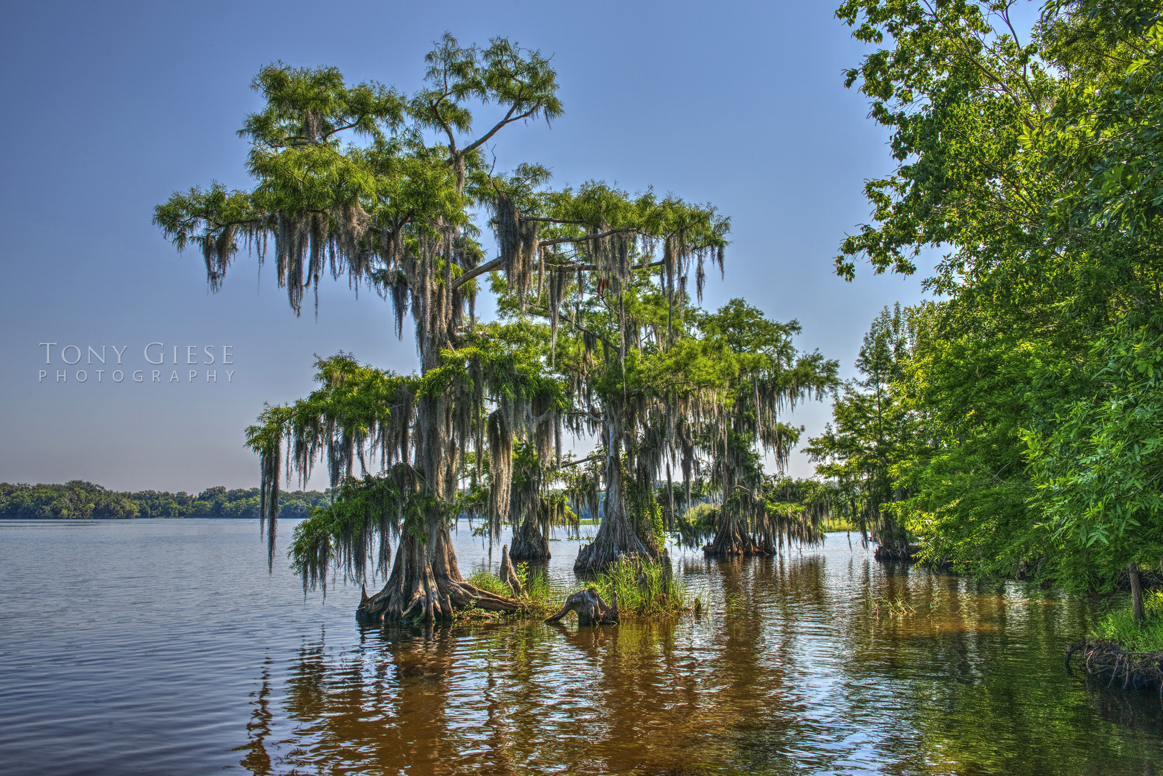 The St. John's River is landscaped with beautiful bald cypress north of Sanford Florida. Photograph by Tony Giese Photography