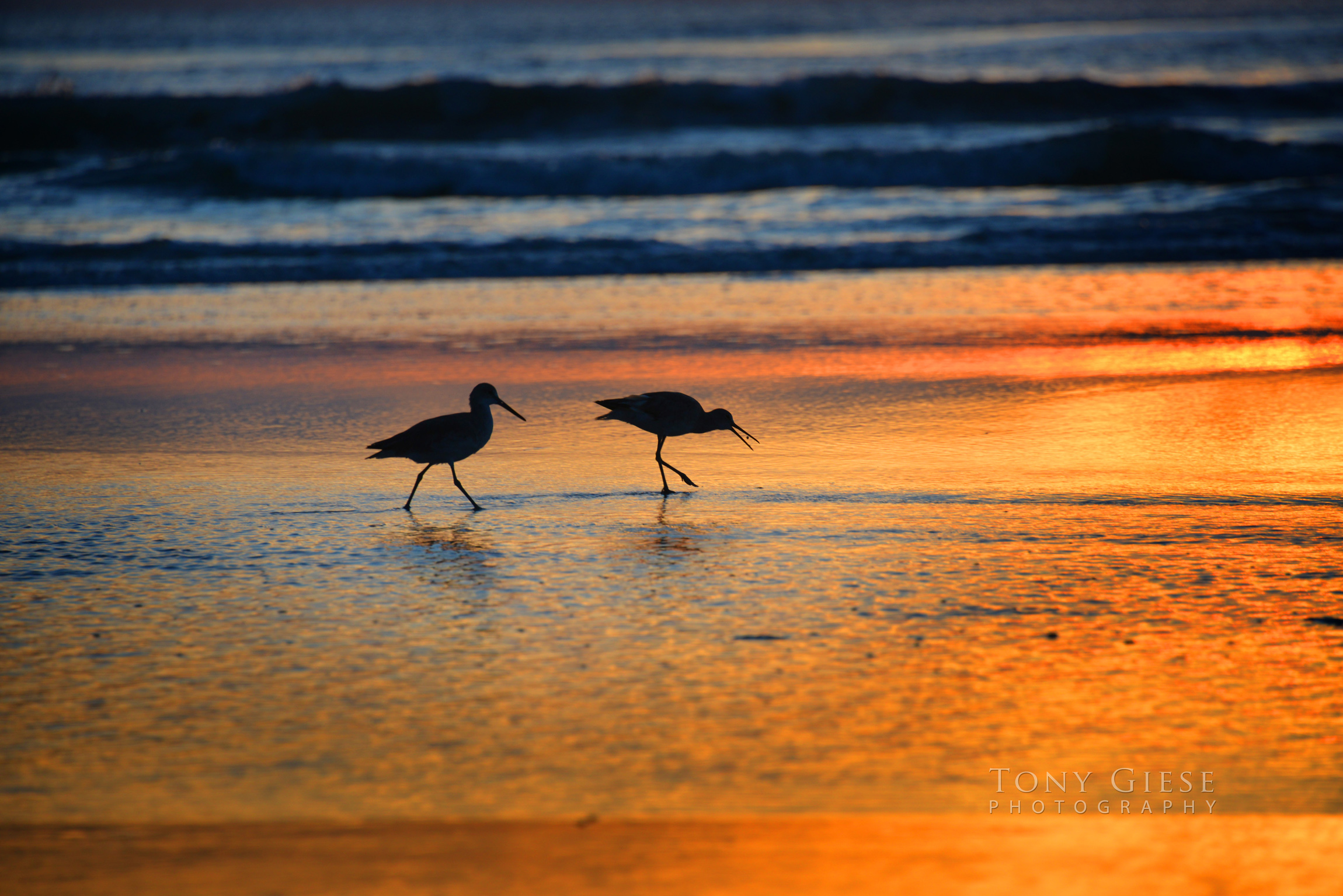 Sandpipers on New Smyrna Beach, Florida. Photography by Tony Giese