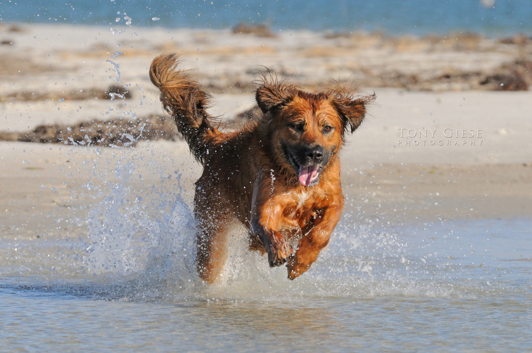 Rescue dog running on Daytona Beach, Florida.