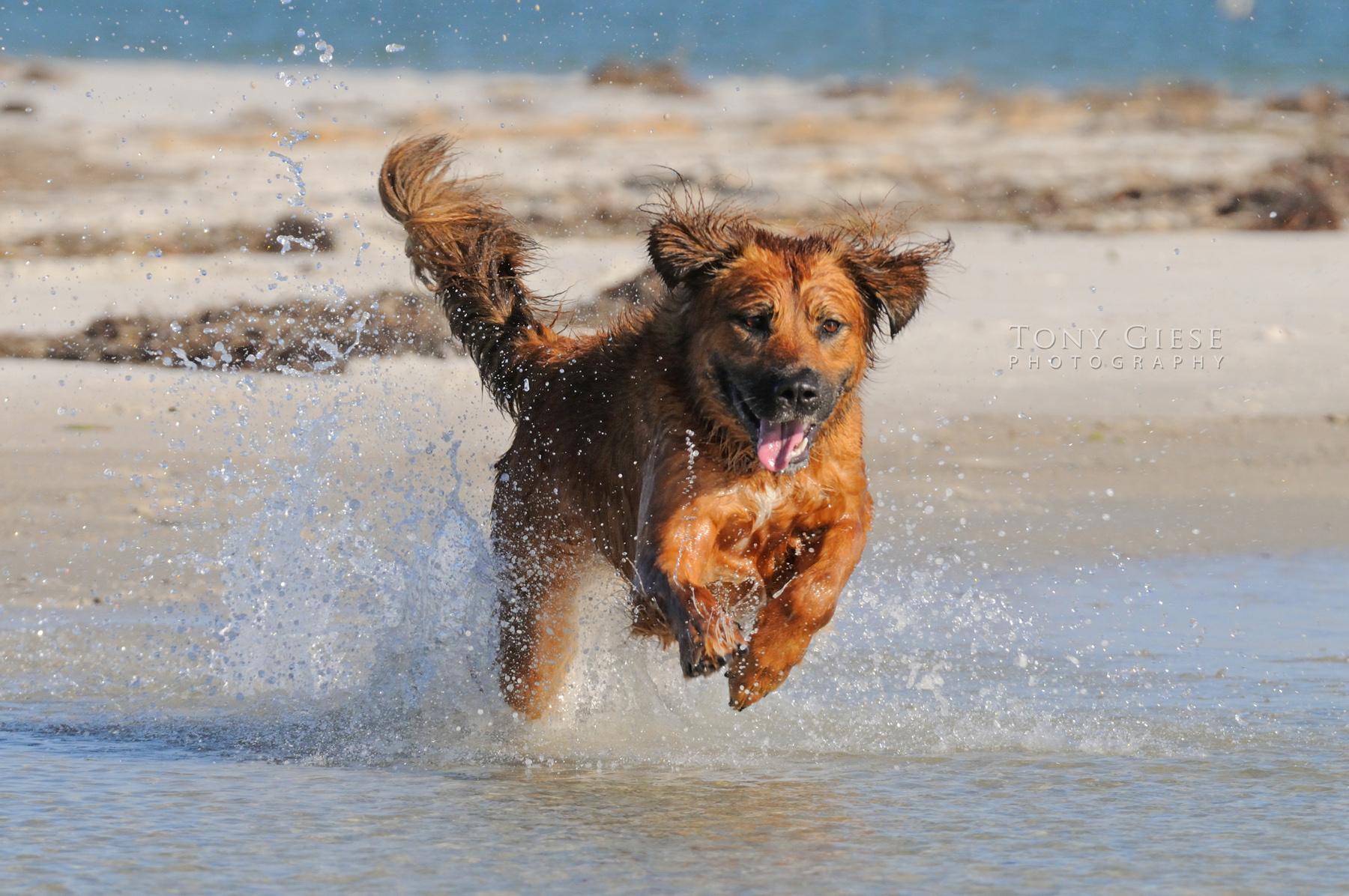 Rescue dog running on Daytona Beach, Florida.