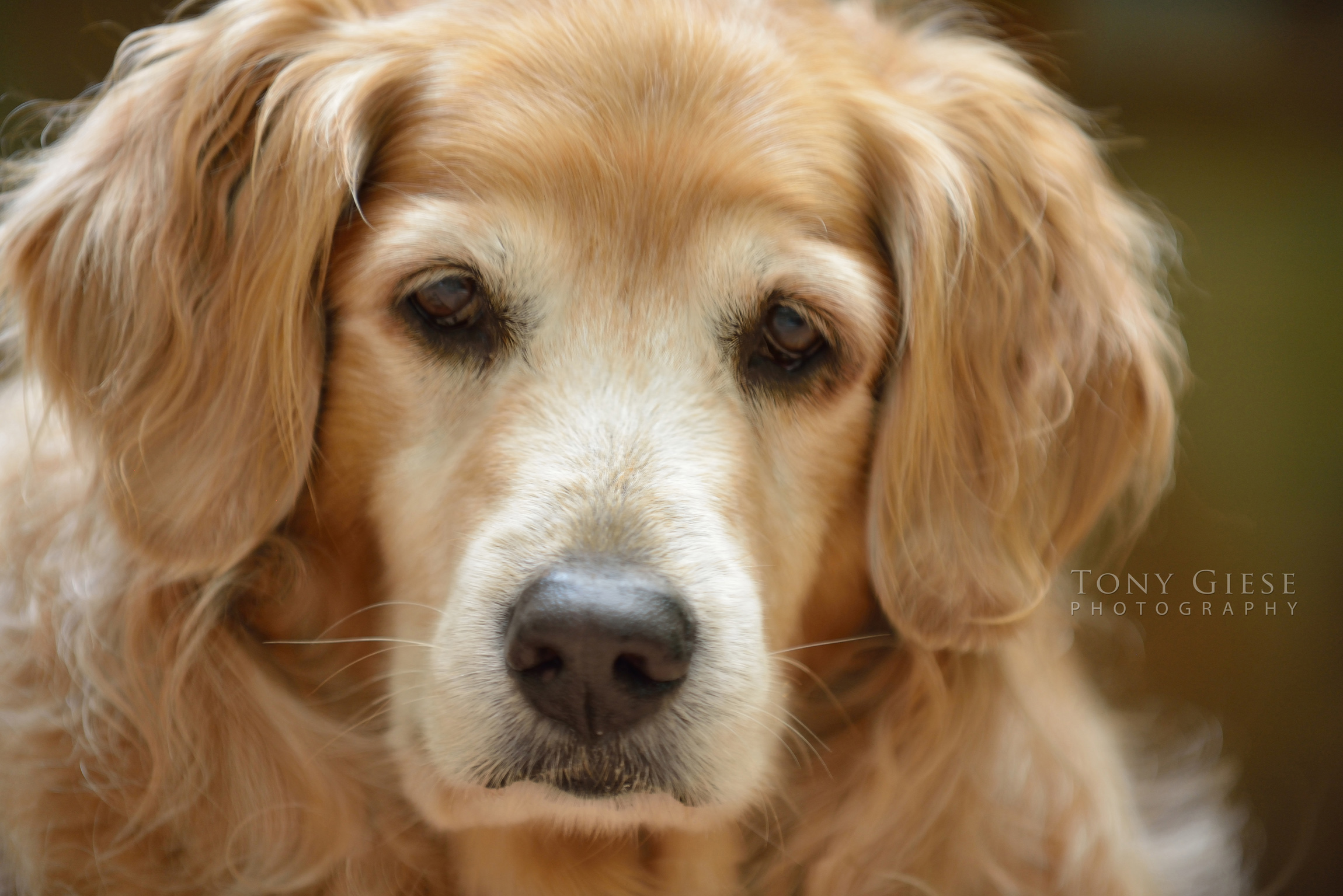 Love face of older Golden Retriever.