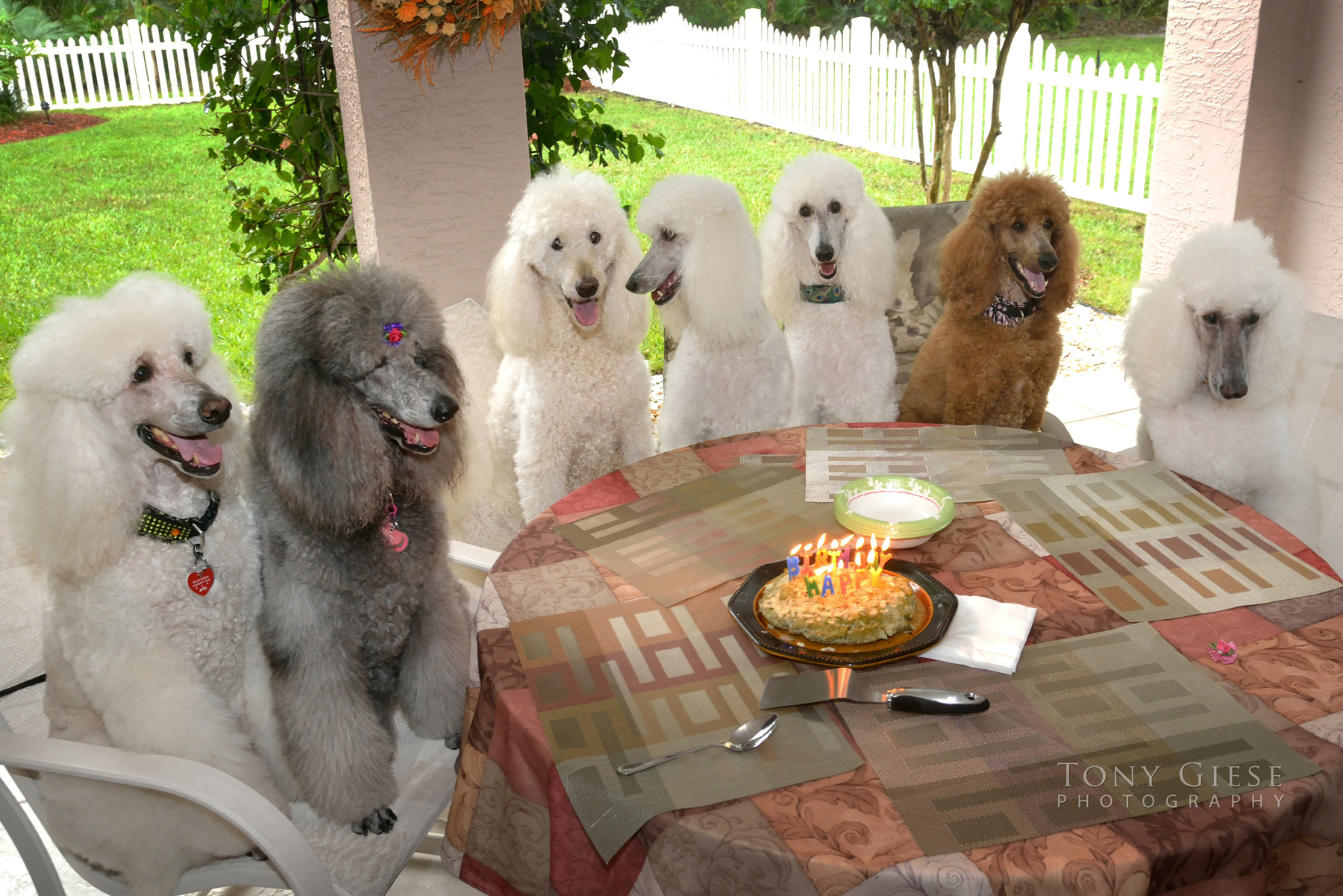 All standard poodles birthday party with homemade cake.