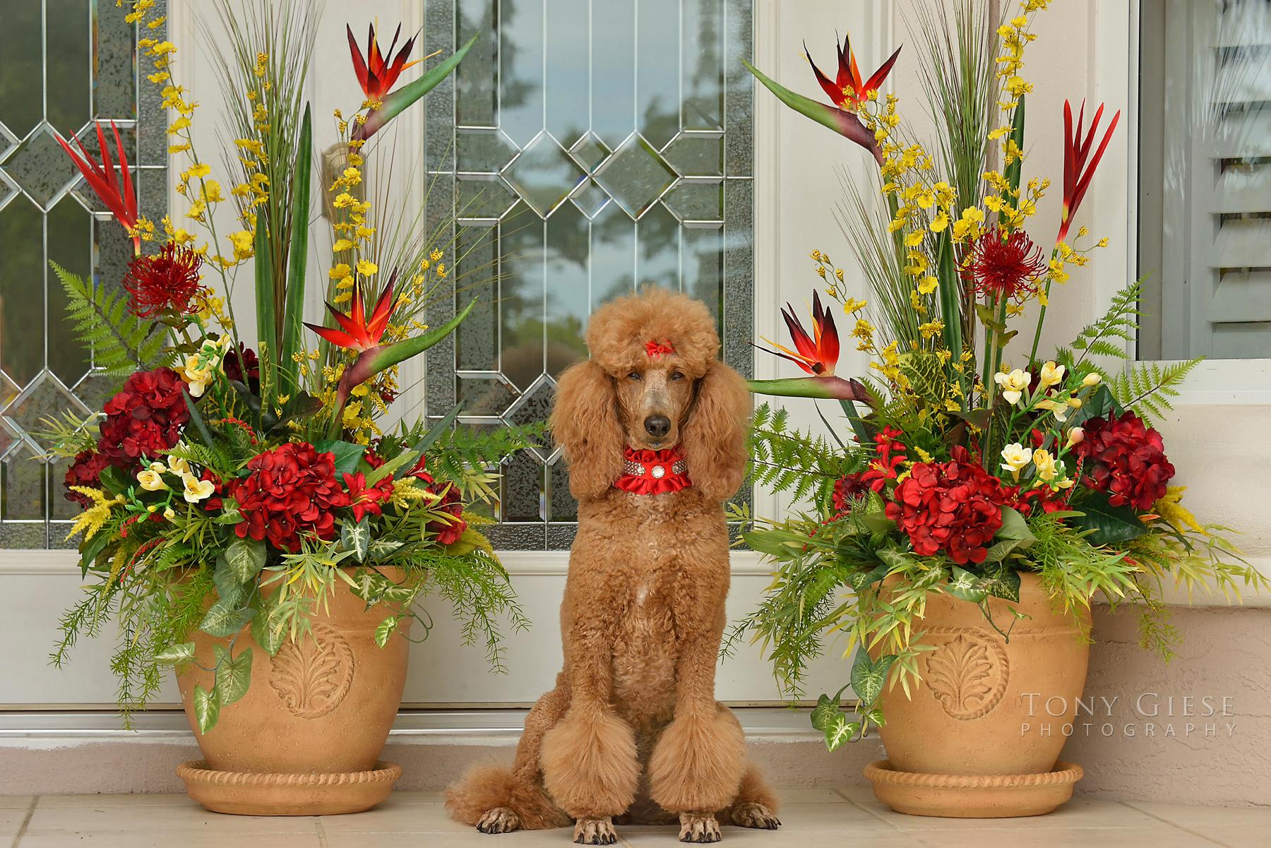 Portrait of Red Standard Poodle