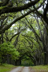 oaktreecoveredroad