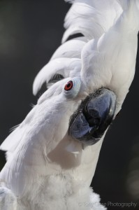 whiteumbrellacockatoo