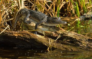 lakewoodrufffloridaalligator